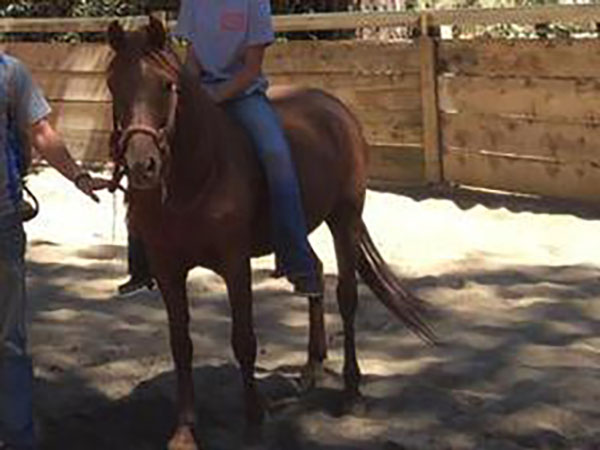 Rabbit Arabian Welsh Cross Pony Mare